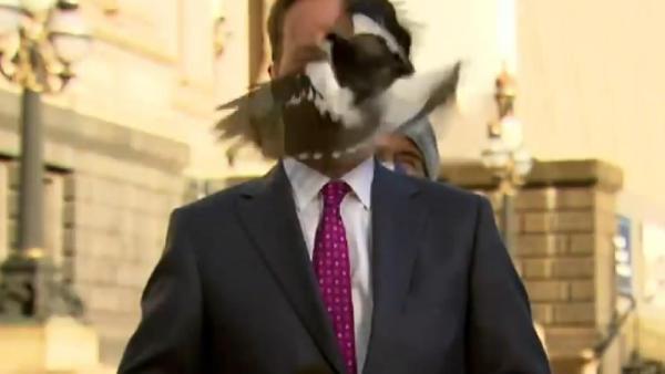 Avustralyalı muhabirin suratına yayın sırasında kuş çarptı (DHA)