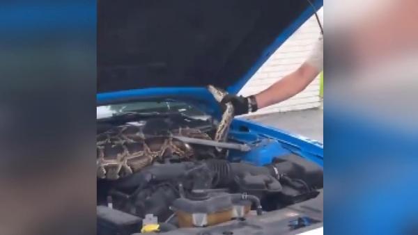 ABD'de lüks aracın kaputundan 3 metrelik dev piton çıktı (DHA)