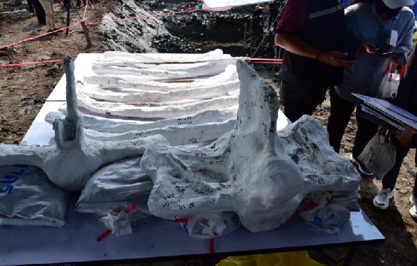 Tayland'da 'iyi derecede korunmuş' 5 bin yıllık balina kalıntıları bulundu (DHA)