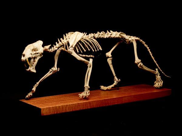 37 milyon yıllık kılıç dişli kaplan iskeleti açık artırmayla satışa çıkıyor (DHA)