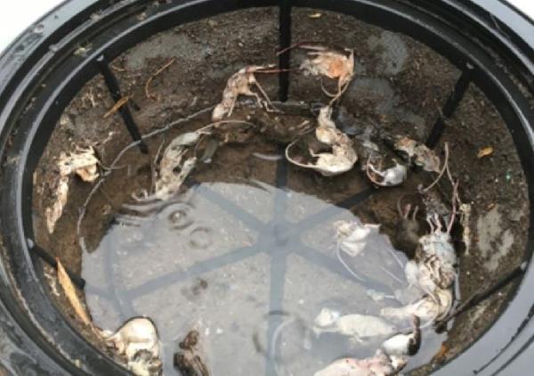 Avustralya'yı milyonlarca fare bastı (DHA)