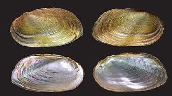 Malezya'da 94 yıl sonra iki yeni tür ve bir yeni cins 'tatlı su midyesi' bulundu (DHA)